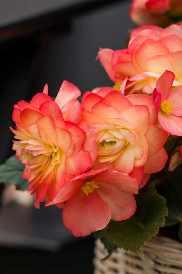 Begonia Limitless