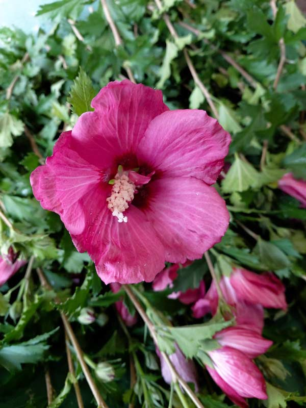 Hibiscus Flower Tower Ruby