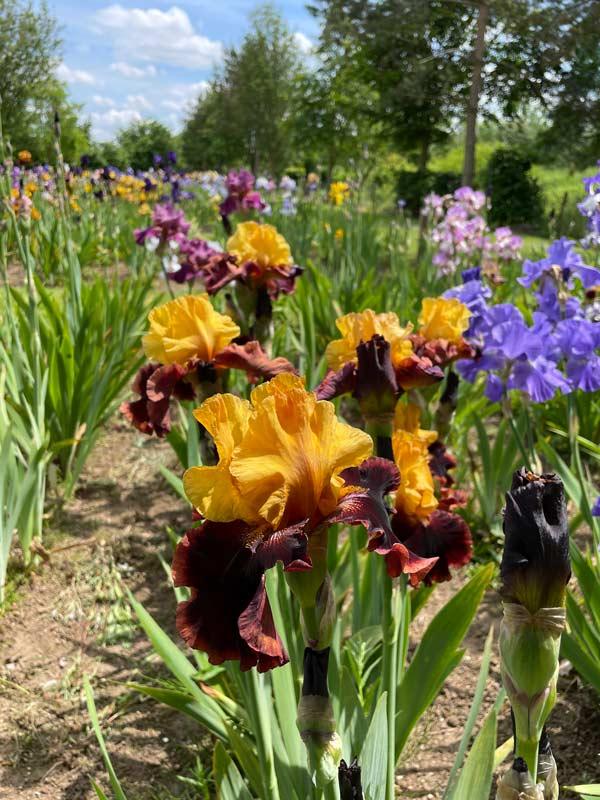 Iris Ancient Echoes