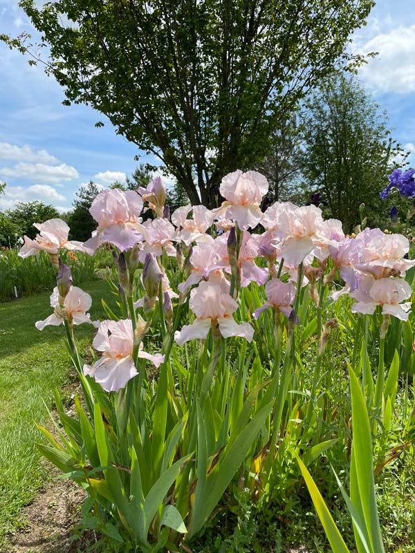 Iris 'Benton Cordelia'