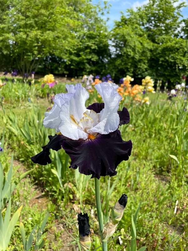 Iris 'Domino Noir'