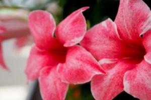 Sundaville® Flamingo Pink