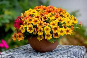 x Petchoa hybrida BEAUTICAL®