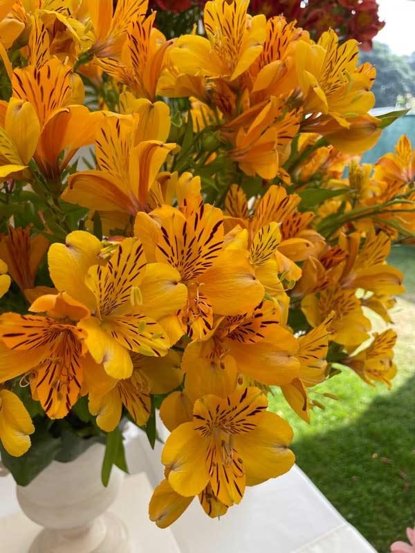 Alstromemeria Golden Delight