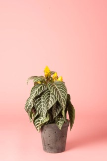 Aphelandra (Zebra Plant): such a happy little plant! Enjoys a position in bright, filtered light. The yellow flowers are mostly 'bracts' (coloured leaves), which means they last for many months!