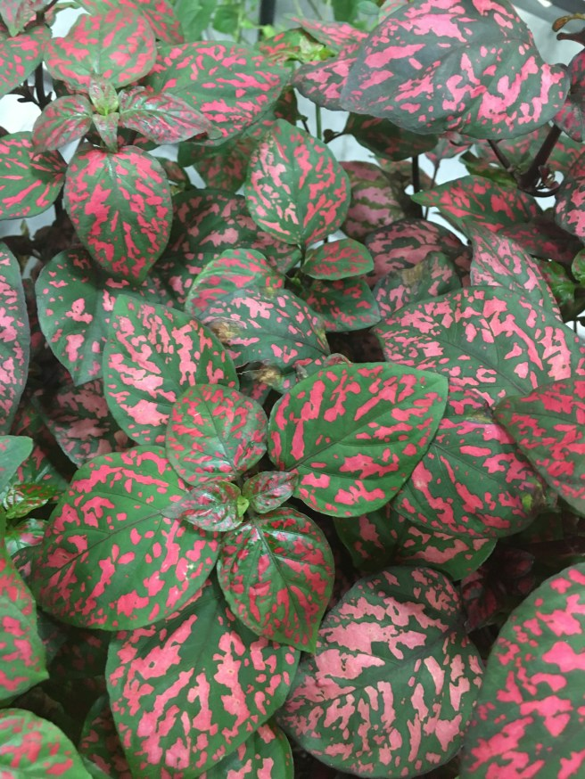 Hypoestes 'Hippo Red'
