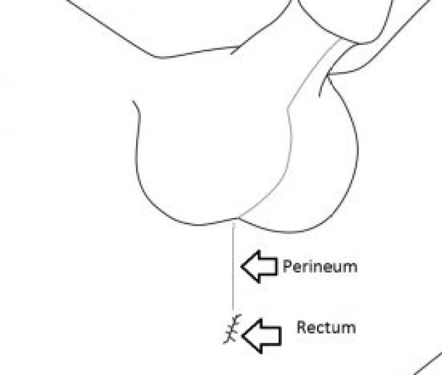 Diagram Of Male Perineum Rub Here For External Prostate Stimulation
