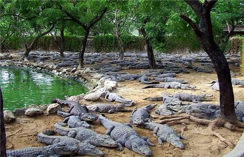 Vadodara's Vishwamitri river and lakes started counting crocodiles, the stock had 370 crocodiles 5 years ago ... now?