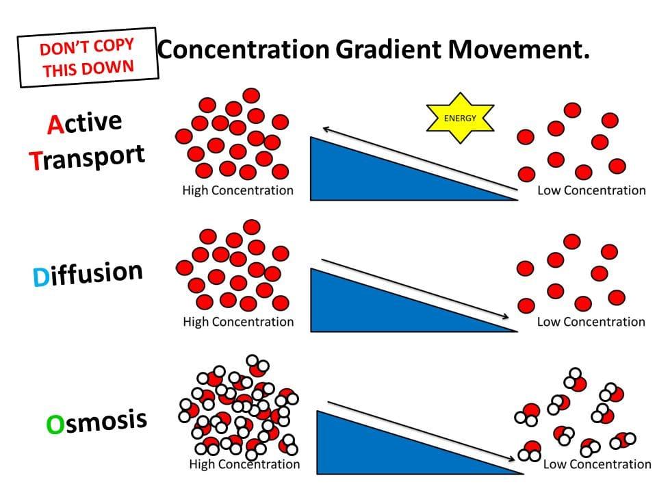 Osmosis Venn Diffusion Active And Transport Diagram