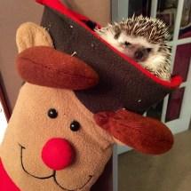 African Pygmy Hedgehog christmas
