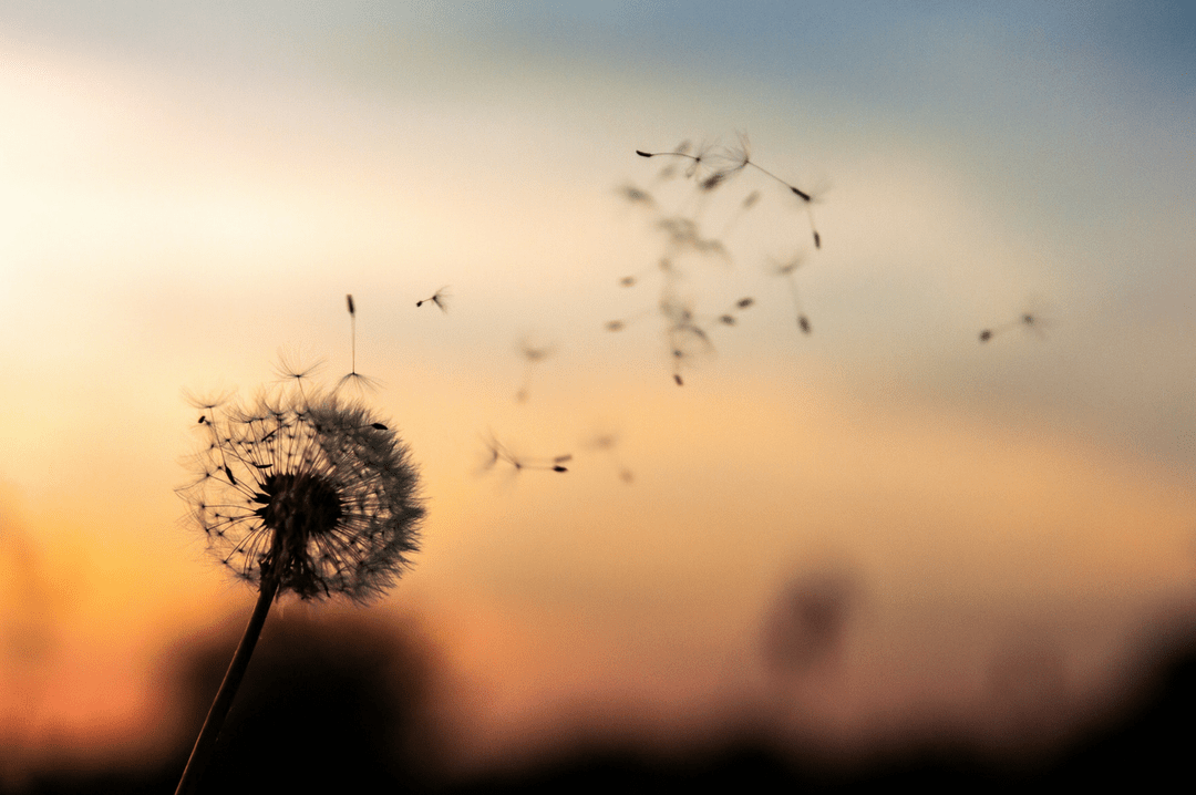 A photograph of a sunset in the background with a dandelion in the foreground and its seeds blowing in the wind- How To Survive Pregnancy After Baby Loss - Mrs H's favourite things