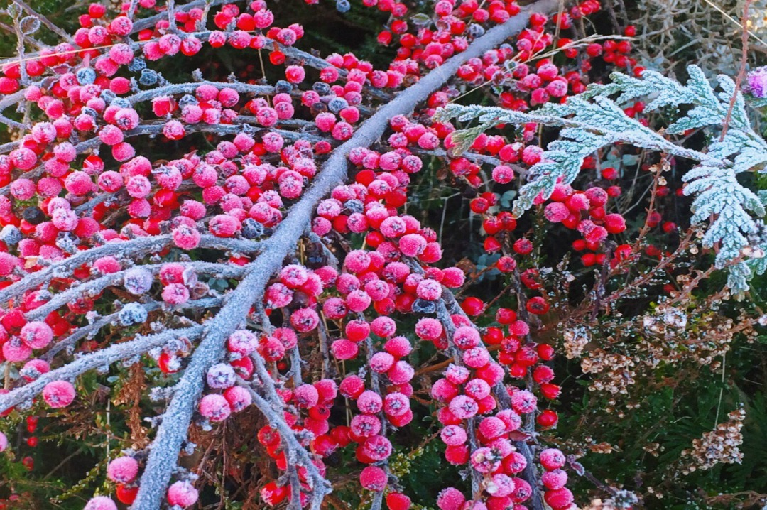 A photograph of a branch of frost covered red berries _ Our Advent 2016 Bucket List_Mrs H's favourite things