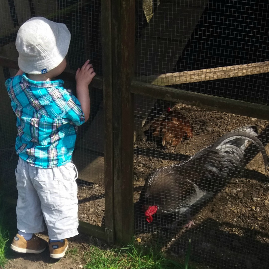 A little boy stands and looks into a chicken coop at Pepenbury Farm in Kent - Our Weekend Happy 13: Country Parks, Woodland Walks and a Party - Mrs H's Favourite Things