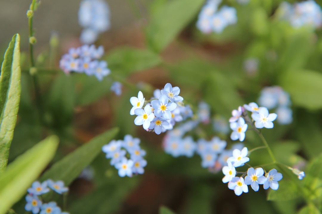 A photograph of bunches of forget-me-nots - The Symptoms And Diagnosis Of My First Missed Miscarriage - Mrs H's favourite things