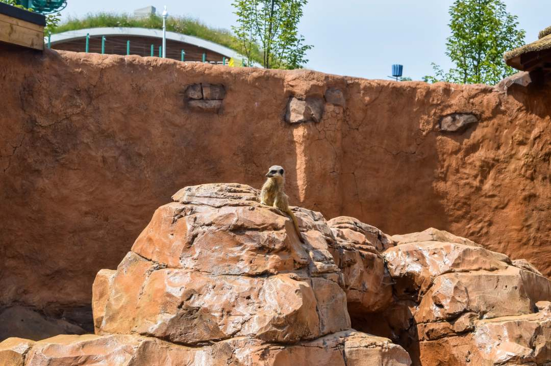 A photograph of a meerkat at Little Africa in Paultons Park - Paultons Park and Peppa Pig World - A Review - Mrs H's favourite things