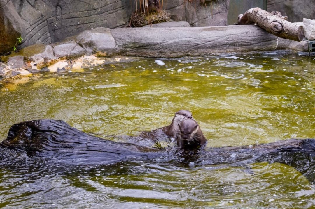 A photograph of two otters play-fighting at Paradise Wildlife Park - Paradise Wildlife Park - A Review - Mrs H's favourite things