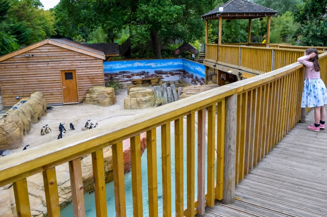 A photogrA photograph of a little girl looking at the penguins at Paradise Wildlife Park - Paradise Wildlife Park - A Review - Mrs H's favourite things