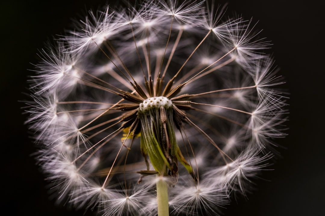A photograph of a dandelion clock - Medical Management Of A Missed Miscarriage - Mrs H's favourite things