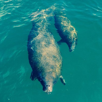 Mommy and baby manatee swimming off the coast of Marco Island.