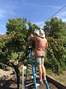 Harvesttime Peaches