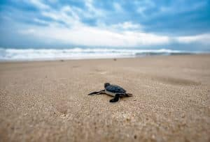 baby turtle on his journey to the ocean
