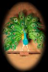 Peacock Pierre