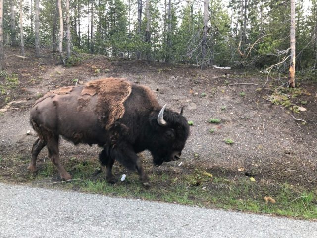 Buffalo are everywhere in Yellowstone. This one's still sloughing his winter coat.