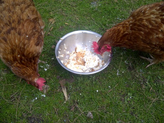 Image of hens eating the cheesecake
