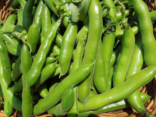 Image of broad beans in their pods