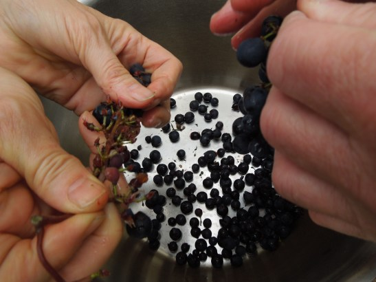 Image of grapes being stripped from their stems