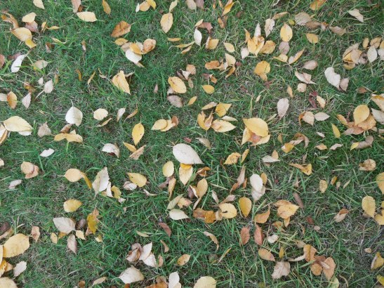 Image of fallen leaves on the lawn