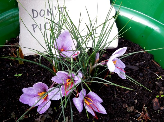 Image of crocus plant with 'don't pick' sign