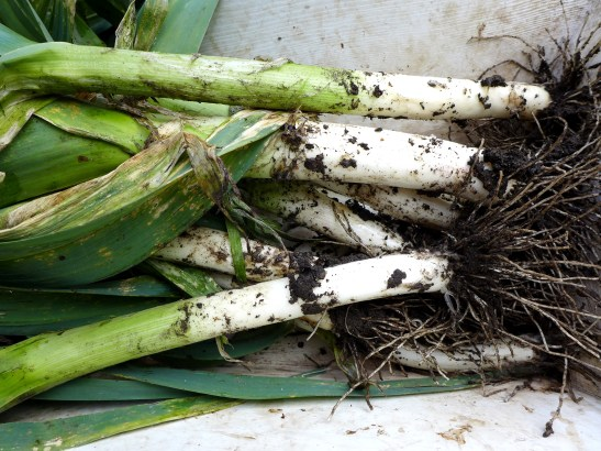 Image of leeks from the Portly veg patch