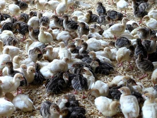 Image of turkey chicks