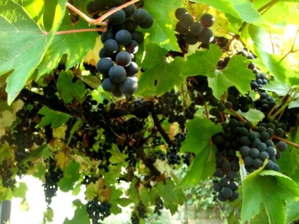 Image of grapevine