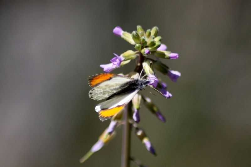 Pacific Orangetip Butterfly