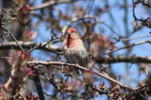 House Finch Stopped By