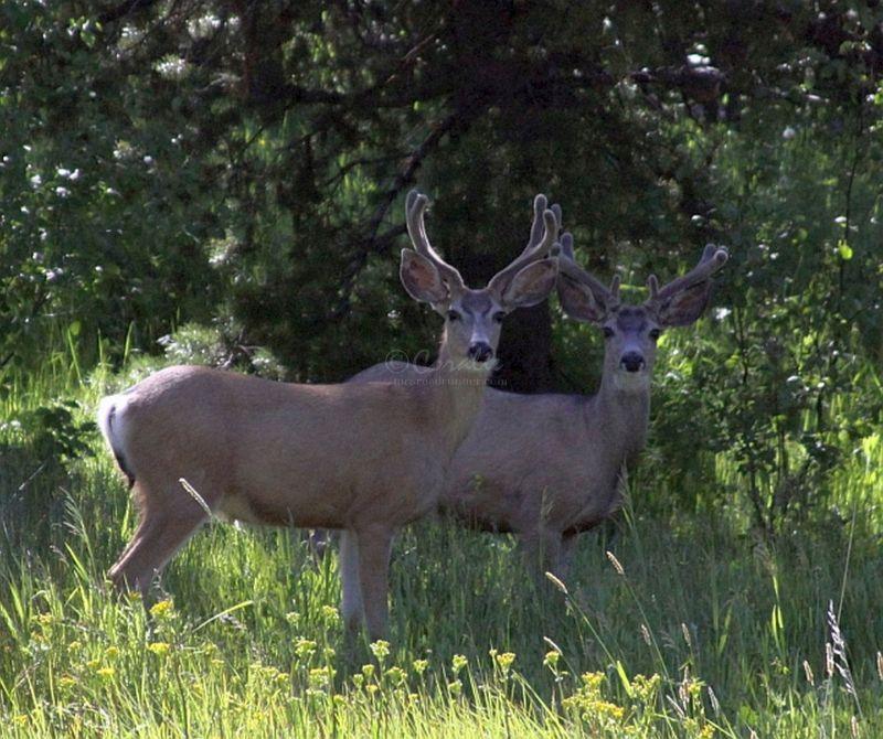 Mule Deer Bucks in Velvet Wildlife Photography