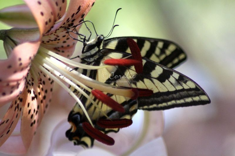 Swallowtail Butterflies and The Lily Flowers