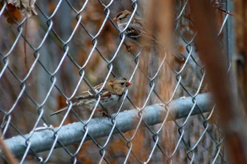 Harris's Sparrow Bird in The High Desert of Oregon