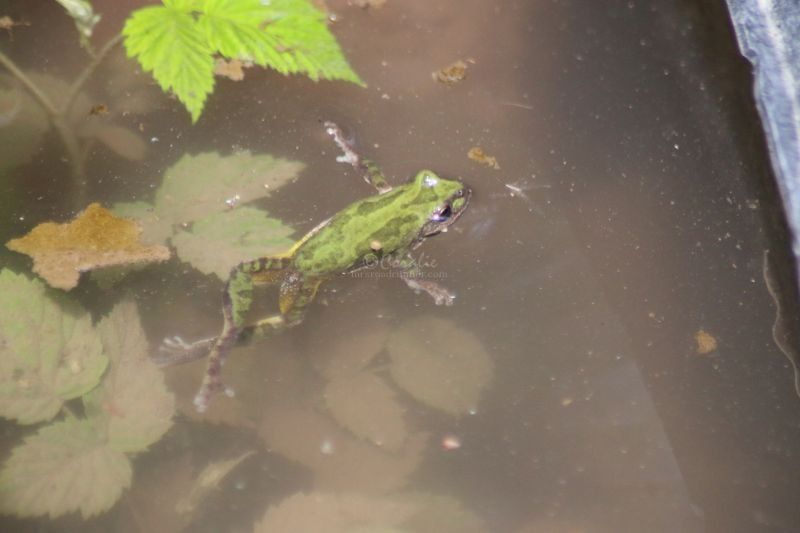 Swimming Frog In Oregon