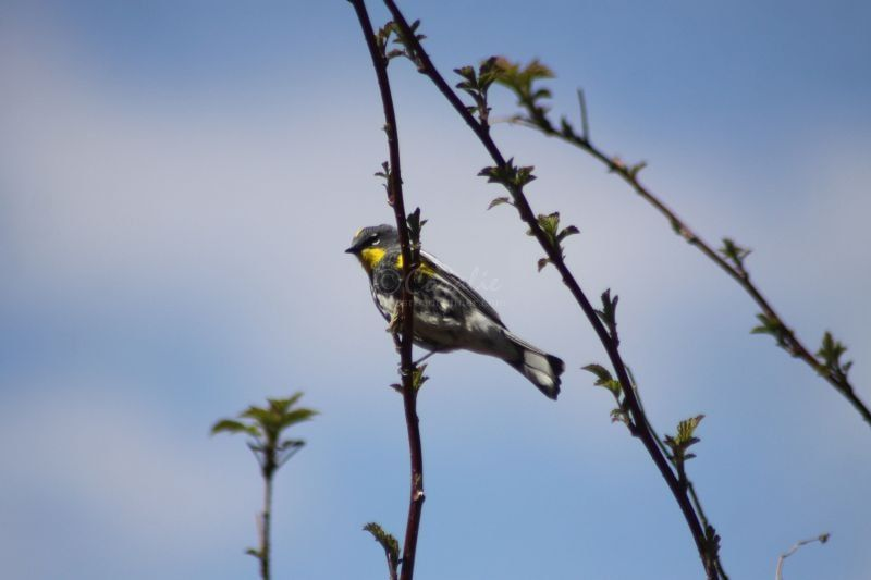 Yellow-Rumped Warbler Bird