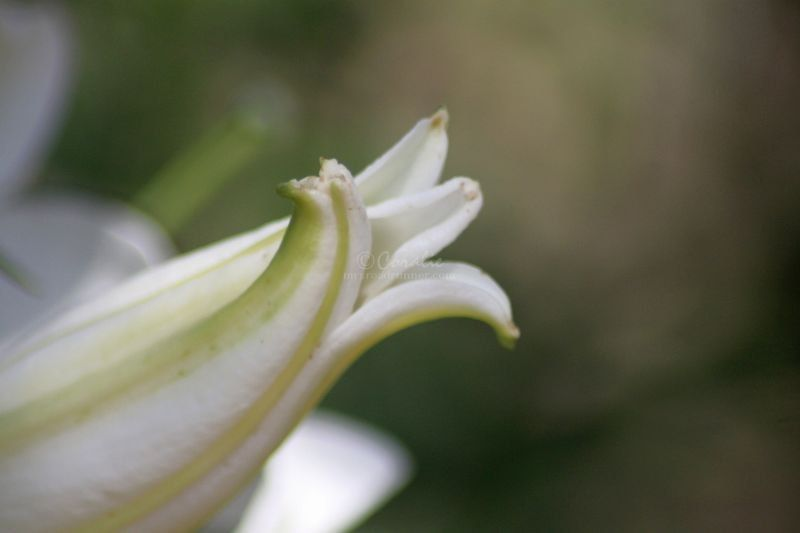 White Lily Flower Bloom