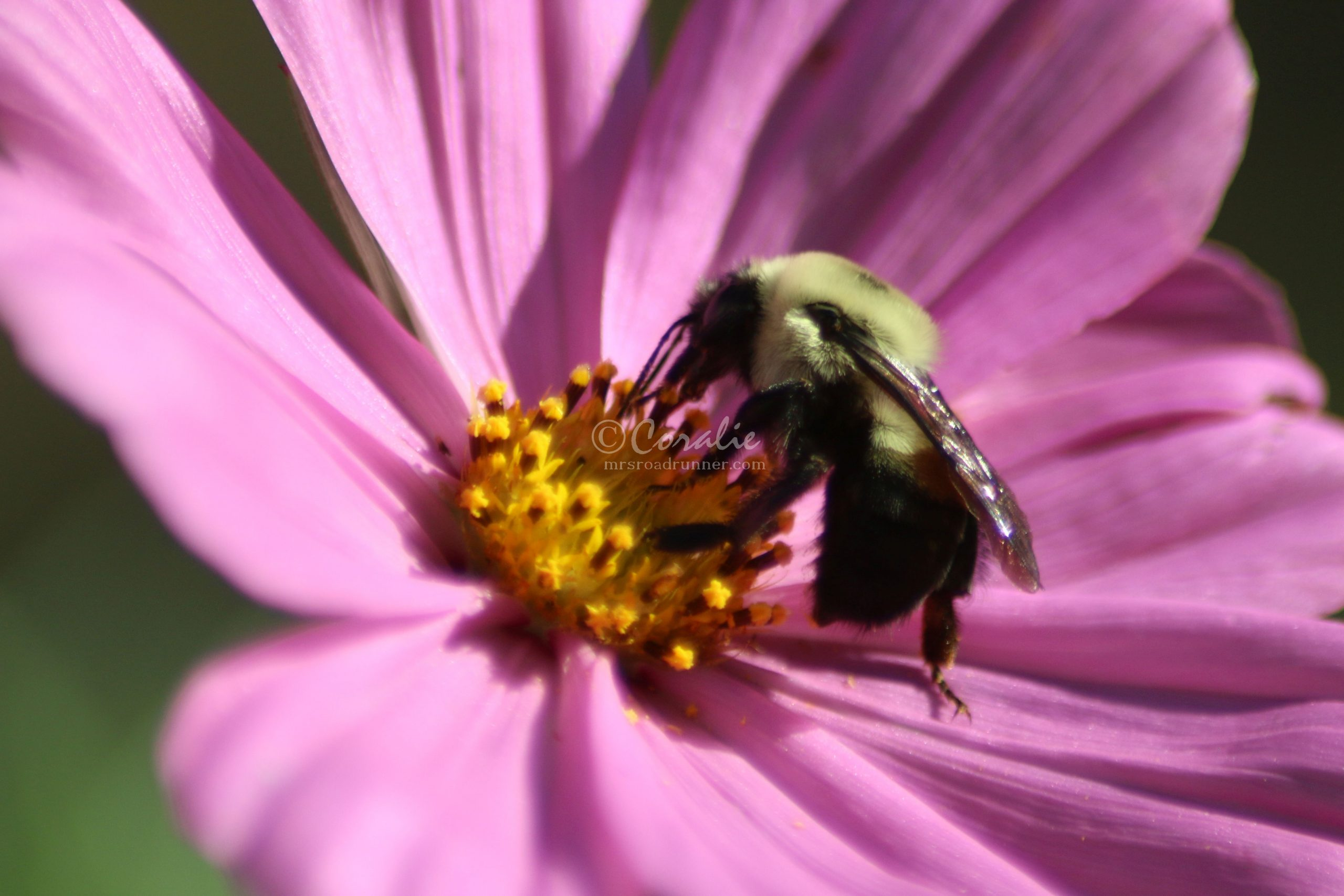 Bumblebee and the Cosmos Flower Bloom