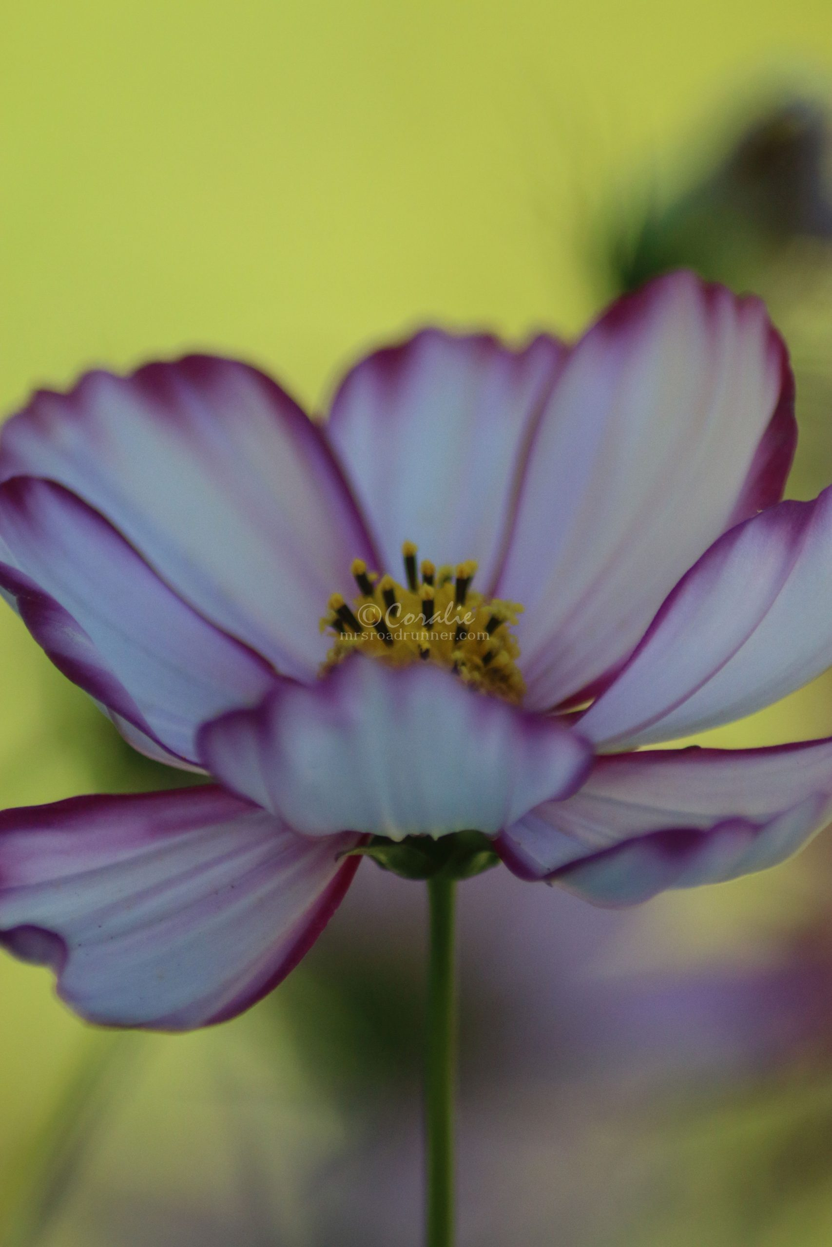 Cosmos Flower Blooms in October