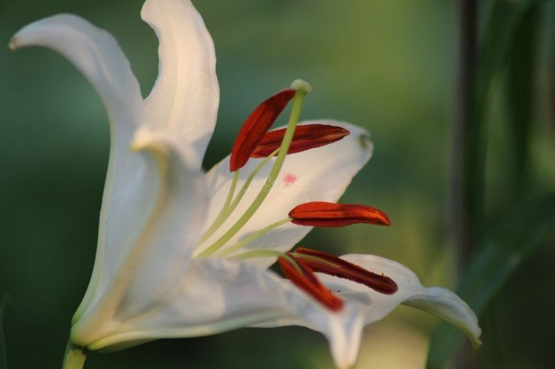 White Lily Blooms