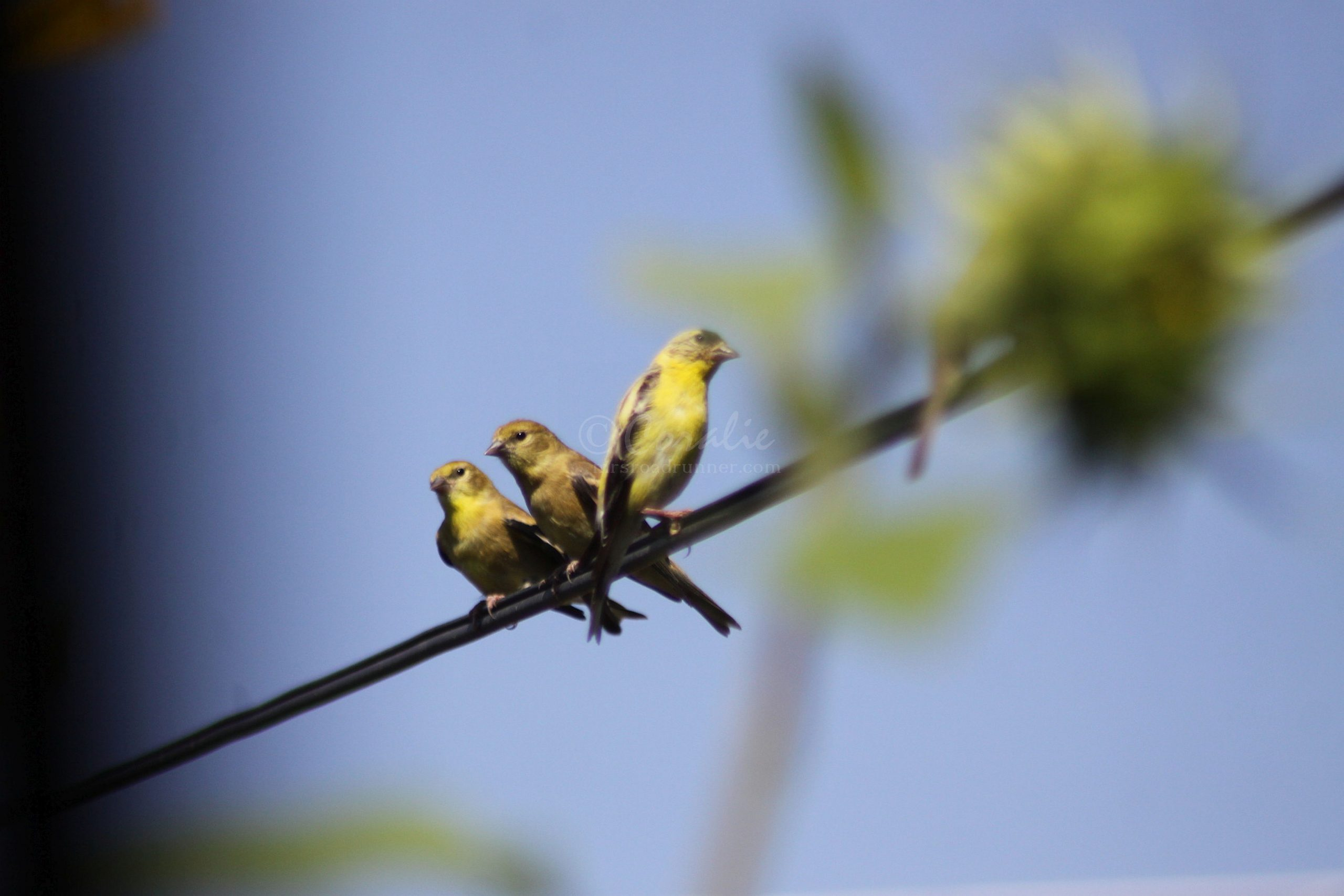 American Goldfinch and Fledglings