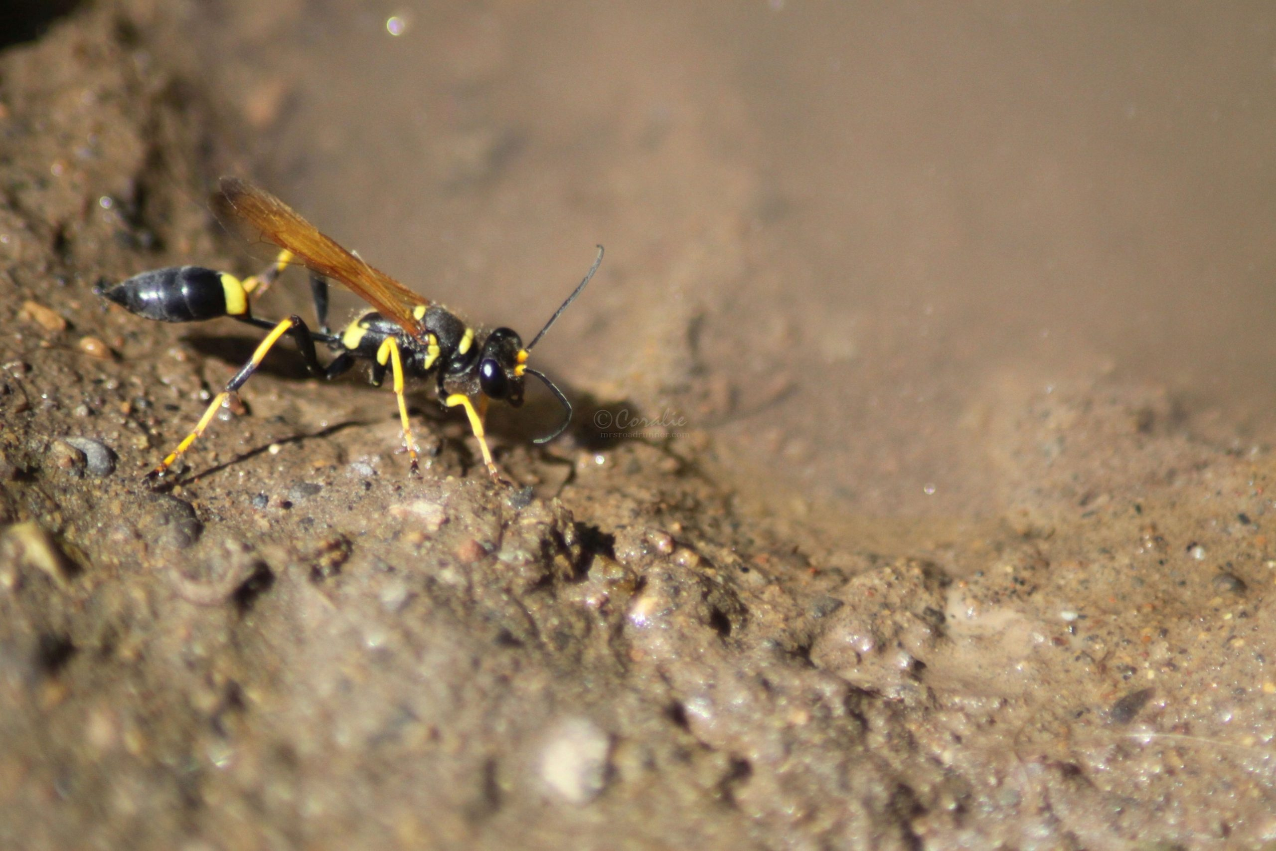Mud Dauber Wasp in The High Desert