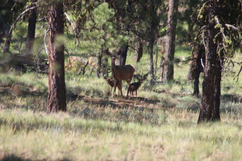 Mule Deer Doe and Fawns