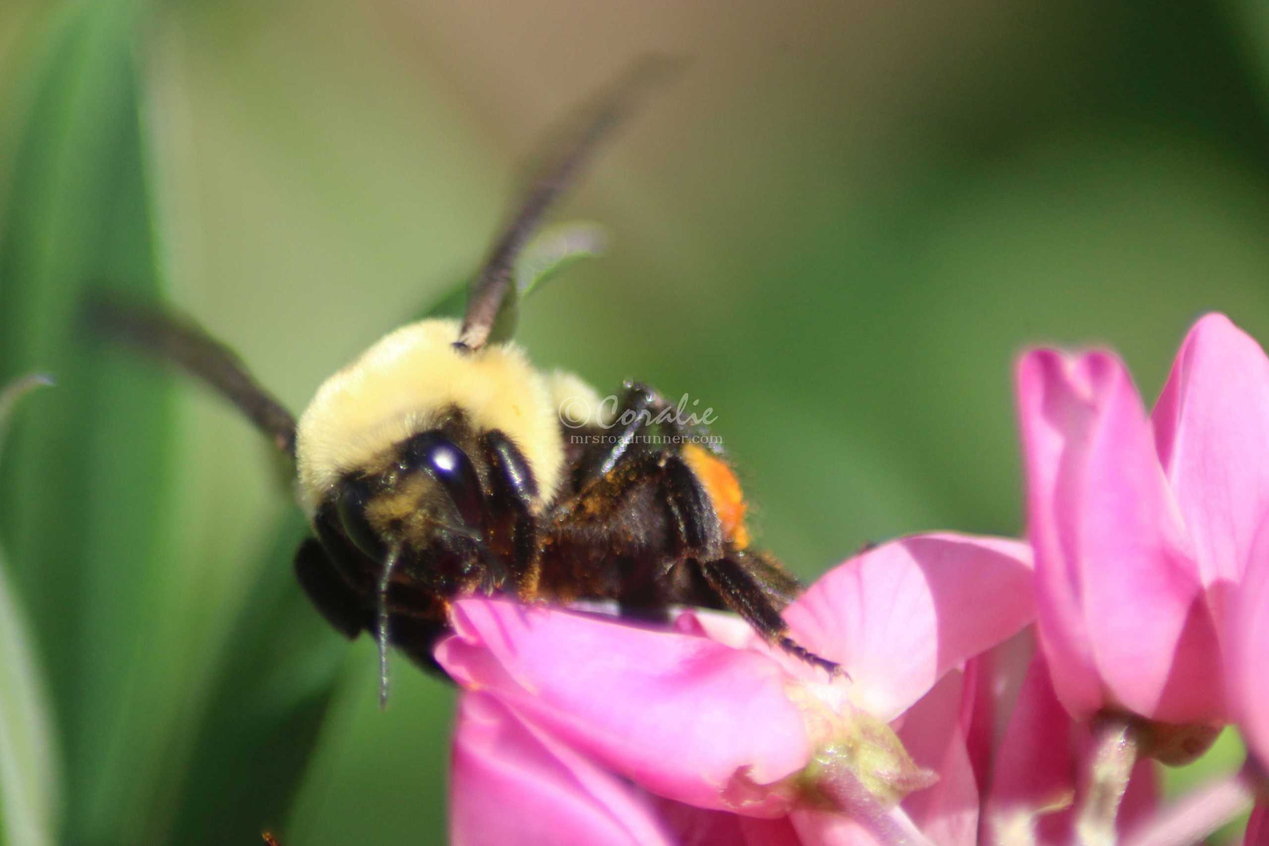 Bumblebees Are Back